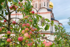 Apples in the garden The Valdai Iver Svyatoozersky Virgin Monastery.